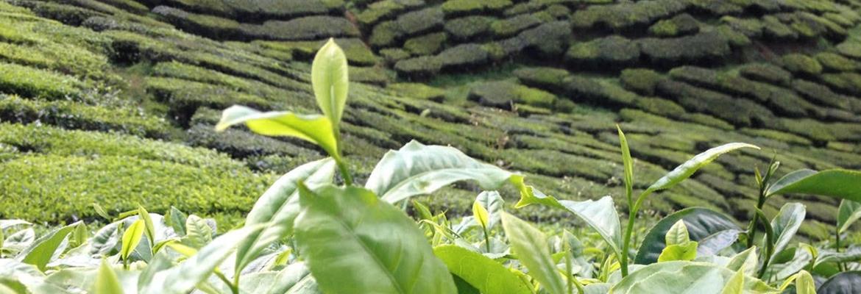 Plantation de thé en Malaisie Cameron Highlands