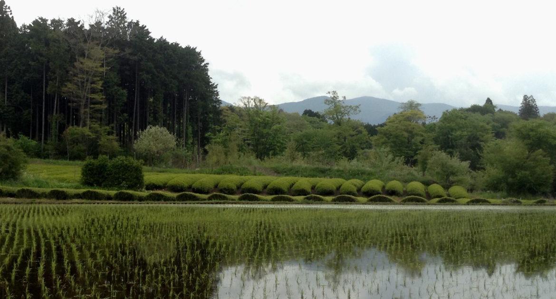 Plantation de thé Japon entre une forêt de bambous et une rizière