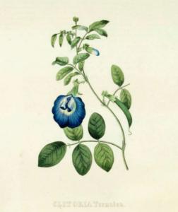 Clitoria Botanical